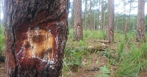 Lâm Đồng: Kiên quyết xử lý các đối tượng lấn chiếm rừng thông