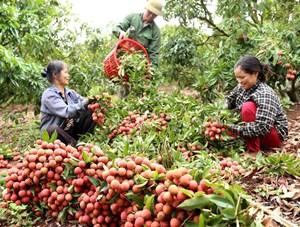 Bắc Giang thu gần 7.000 tỷ đồng từ vải thiều
