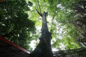 Ngắm 9 siêu cây 'đại cổ trường sinh' được xem như báu vật tại ngoại thành Hà Nội