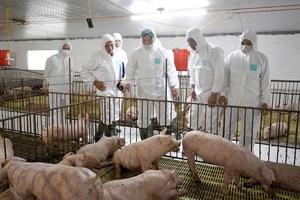 Sẽ cung ứng ra thị trường 11 triệu con lợn