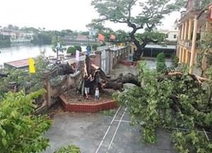 Thái Bình: Bão số 2 giật đổ cây gạo di sản gần 400 tuổi