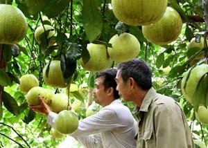 Phú Thọ: Phát triển cây bưởi trở thành cây trồng chủ lực