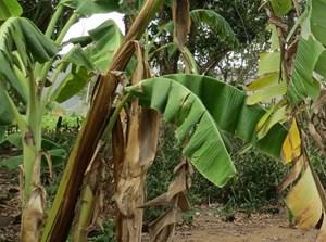 Trị bệnh héo vàng lá cho cây chuối