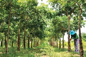 Cây trôm ở Ninh Thuận