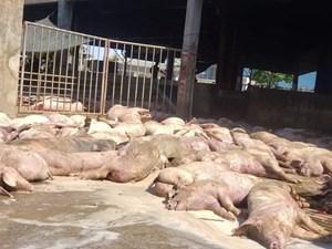 Thừa Thiên – Huế: Hàng chục con heo chết được đưa vào lò mổ