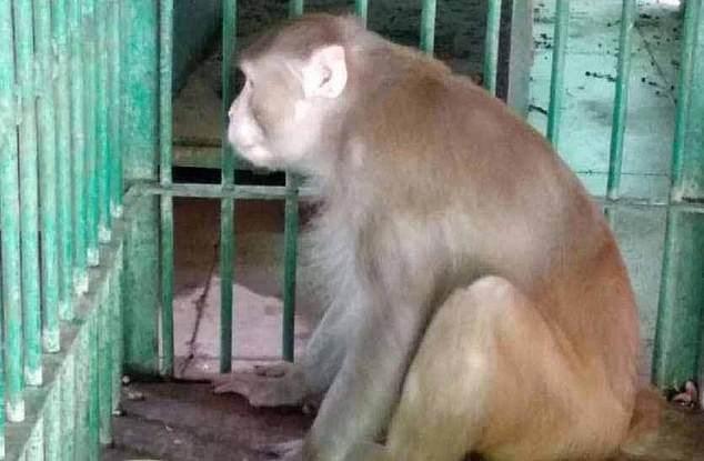 Khỉ Kalua bị nhốt suốt đời trong chuồng sắt vì nghiện rượu và có tính cách hung dữ.