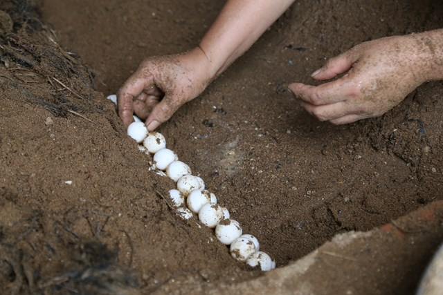 Trứng ba ba gai được vùi dưới cát, tưới nước lên để đảm bảo độ ẩm ấp nở.
