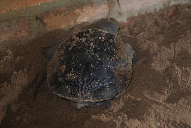Tập tính của ba ba là đào hang và đẻ trứng trên cát.
