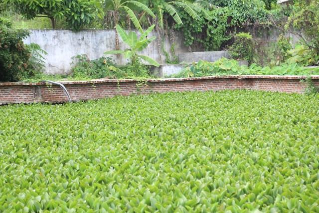 Ao được phủ một lớp bèo trên bề mặt để giữ nước luôn sạch.