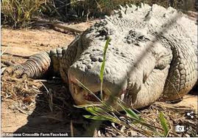 Cá sấu Buka gần 100 tuổi đã chết trong trang trại, để lại sự tiếc thương của nhiều người.