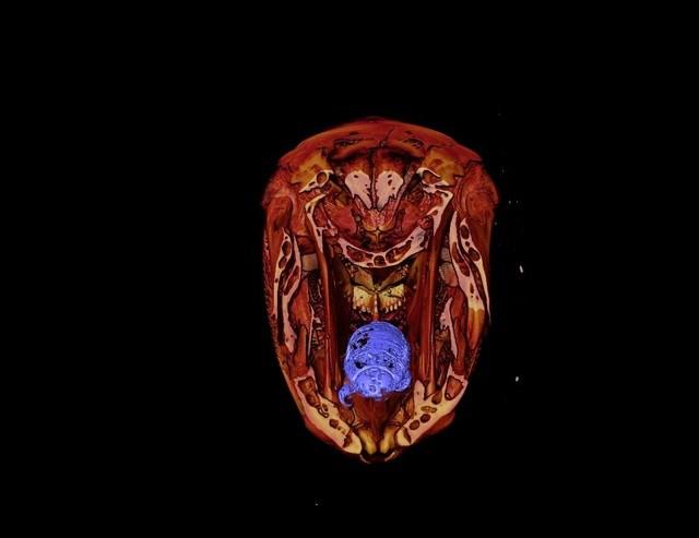 Hình ảnh chụp X-quang cho thấy sự tồn tại của loài rận ký sinh trong miệng cá.