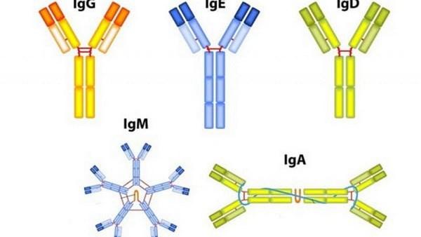 Các loại kháng thể.