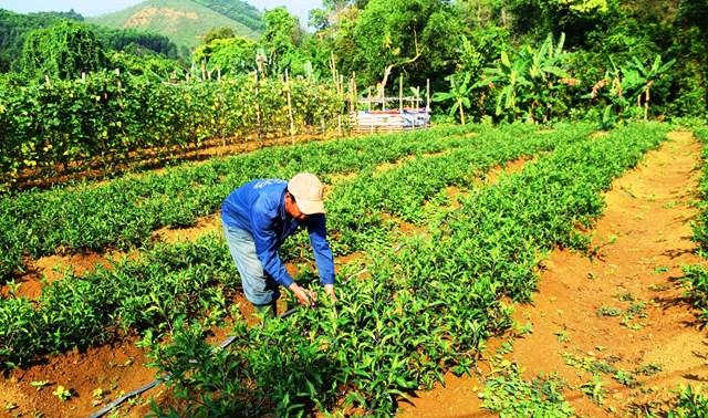 Ông Hồ Văn Nóc chăm sóc vườn rau lủi của gia đình.