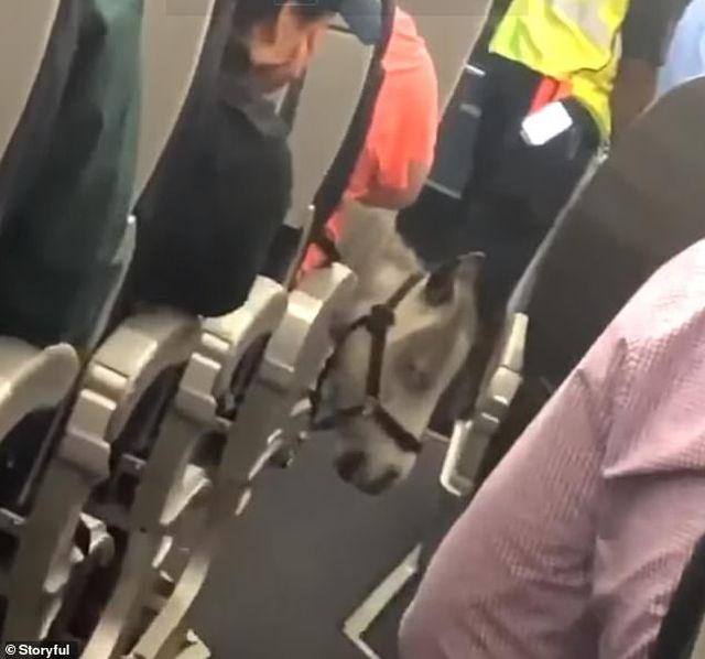 Nữ hành khách mang ngựa lên máy bay Mỹ