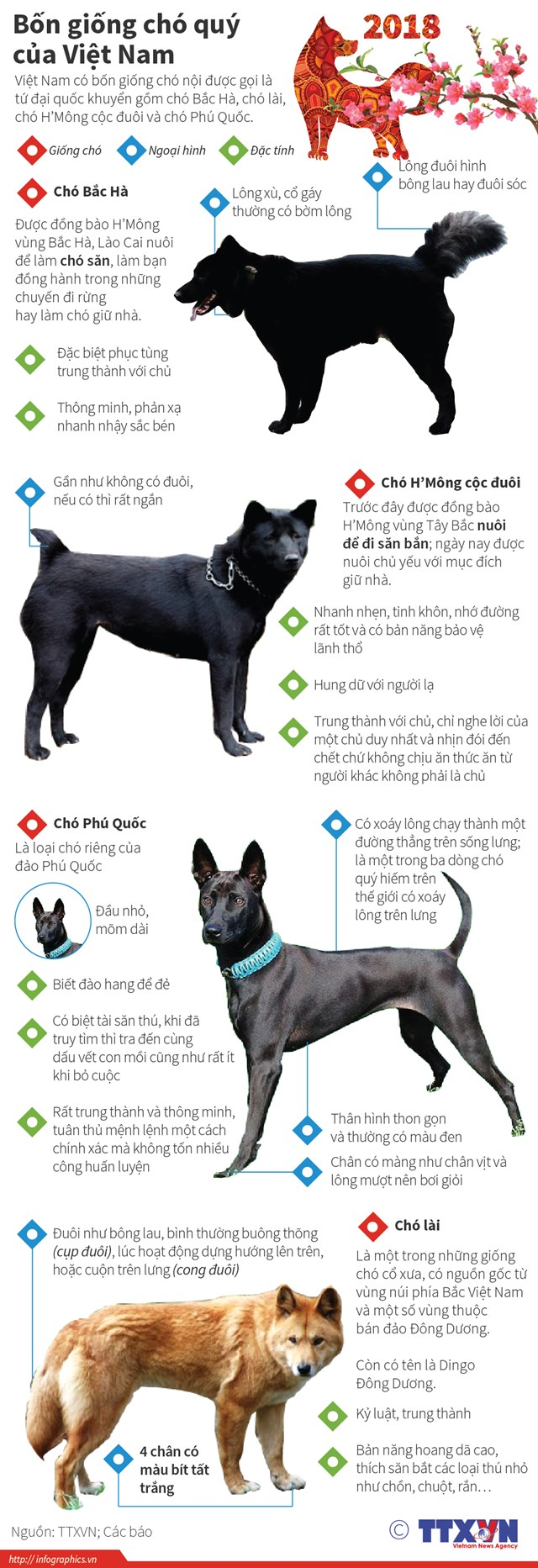 [Infographics] Bốn giống chó 'tứ đại quốc khuyển' của Việt Nam