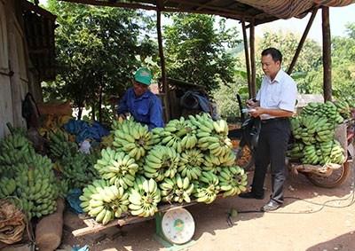 Cây chuối giúp người dân thoát nghèo