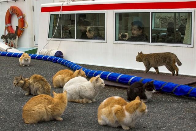 Đảo mèo nổi tiếng của Nhật Bản