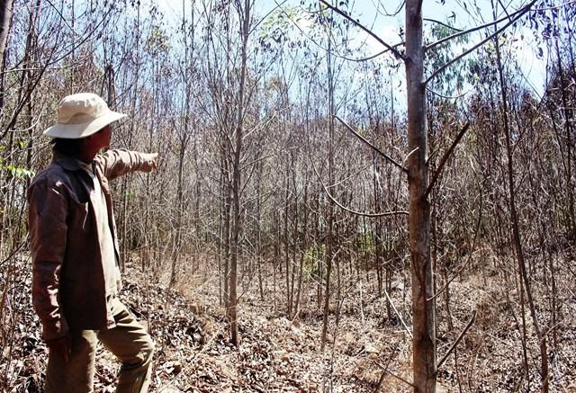 Quảng Ngãi: Nắng nóng, hàng trăm ha rừng của người dân bị chết khô