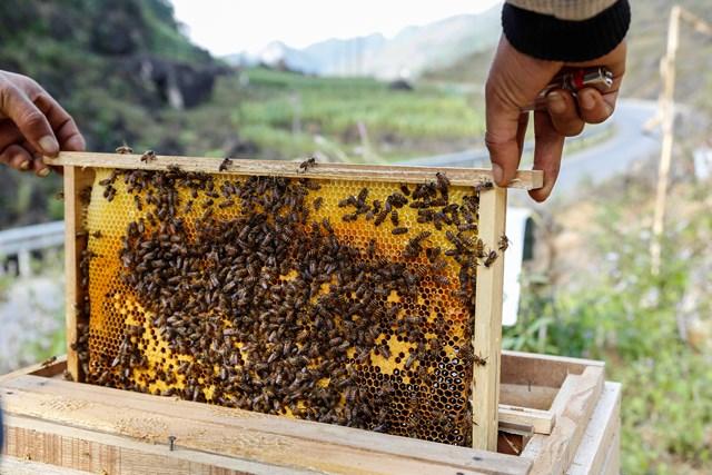 [ẢNH] Nuôi ong trên cao nguyên đá