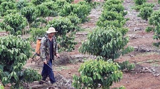 Tái canh cà phê ở Tây Nguyên: Sử dụng phần lớn giống mới