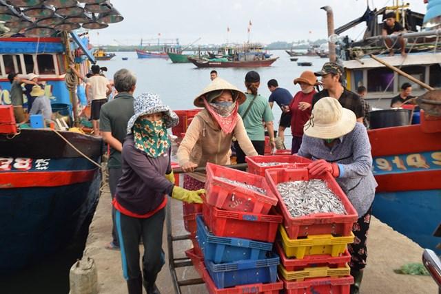 Mùa cá cơm, ngư dân Quảng Nam trúng đậm