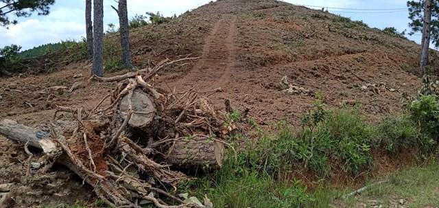 Lâm Đồng: Rừng thông gần 20 năm tuổi bị triệt hạ 