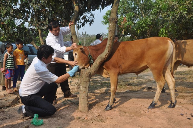 Phòng chống dịch lở mồm long móng trên đàn gia súc