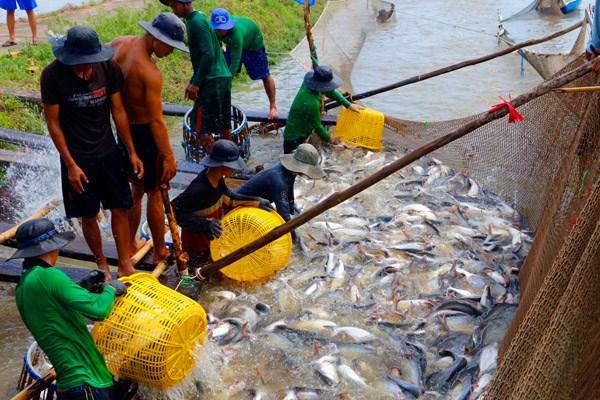 Tìm đường bơi cho con cá tra