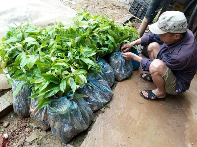 Lạng Sơn: Chênh lệch giá cây giống cao hơn quy định hàng tỷ đồng