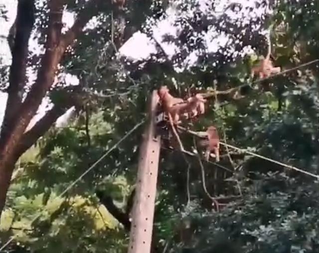 [VIDEO] Đàn khỉ hy sinh thân mình để cứu bạn bị điện giật khiến dân mạng cảm động