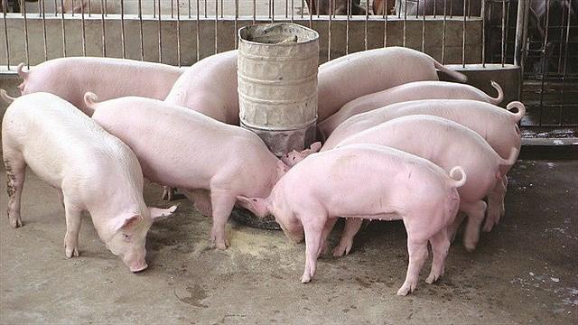 Nhiều địa phương công bố hết dịch tả lợn châu Phi