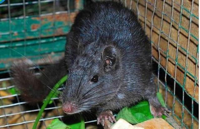 Loài chuột tuyệt chủng xuất hiện trở lại