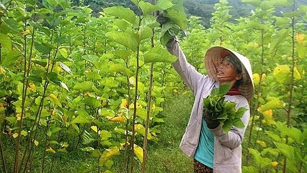 Phát triển trồng dâu nuôi tằm