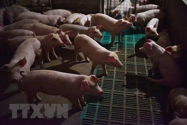 Hàn Quốc phát hiện trường hợp tả lợn châu Phi đầu tiên