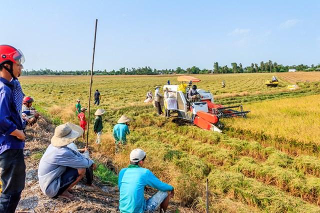 Đồng bằng sông Cửu Long: Không để thương lái ép giá lúa