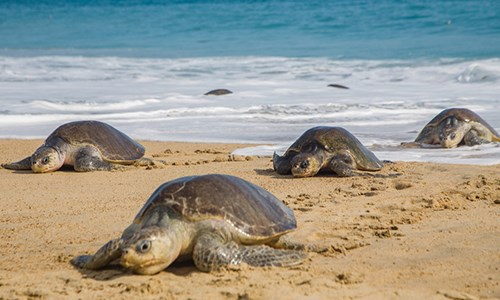 Rùa biển quý hiếm chết hàng loạt ở Mexico