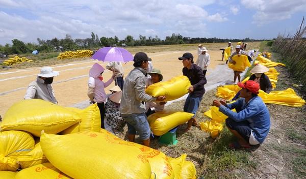 Đồng bằng sông Cửu Long: Không để thương lái ép giá lúa - 1