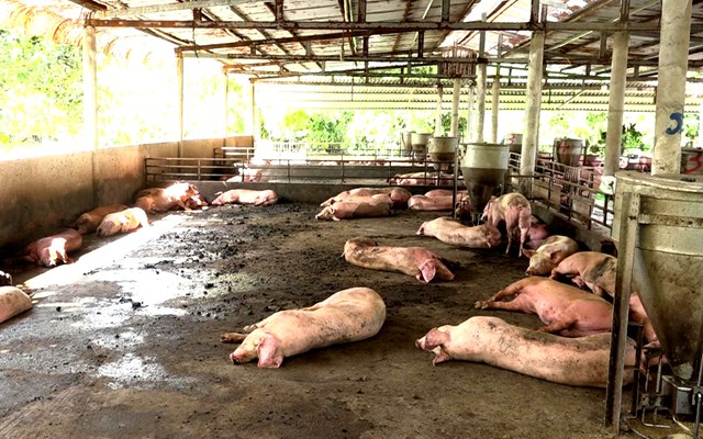 ĐBSCL xuất hiện tỉnh thứ 2 mắc dịch tả lợn châu Phi - 1