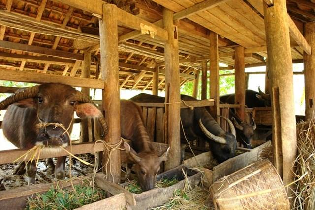 Chủ động phòng chống rét cho vật nuôi