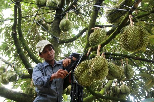 Khuyến cáo nông dân không ồ ạt trồng sầu riêng