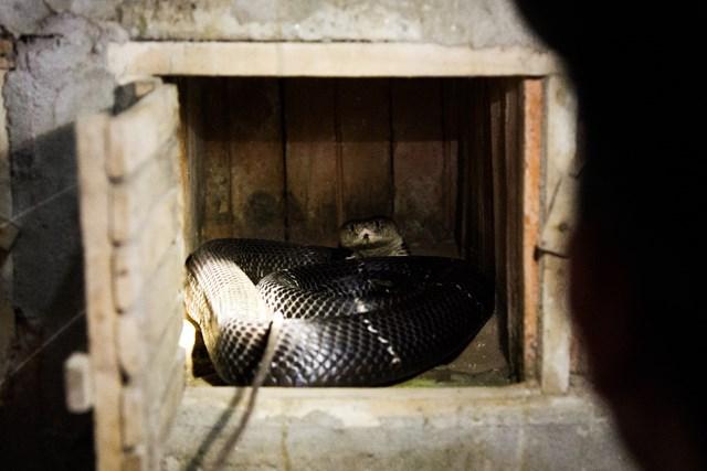 [ẢNH] Kiếm bạc tỷ mỗi năm nhờ nghề nuôi rắn độc - 6