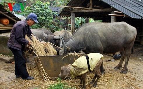 Người dân vùng cao nguyên núi đá chủ động tránh rét cho trâu bò