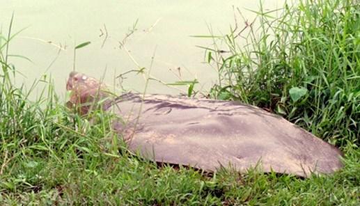 Xác rùa hồ Gươm vẫn được bảo quản trong phòng lạnh