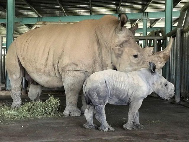 Kỷ lục 4 tê giác con chào đời trong vòng 16 tháng tại Vinpearl Safari - Ảnh 2