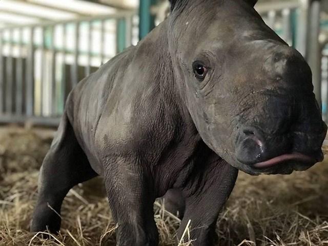 Kỷ lục 4 tê giác con chào đời trong vòng 16 tháng tại Vinpearl Safari - Ảnh 5
