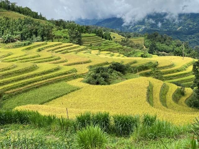 Thời điểm này, lúa trên những thửa ruộng bậc thang ở Tả Sử Choóng đã chín vàng ruộm.
