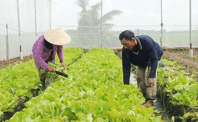Ông Lý Tấn Hùng chăm sóc ruộng rau sạch trồng theo mô hình trong nhà lưới của gia đình.Nguồn ảnh: Nhandan.