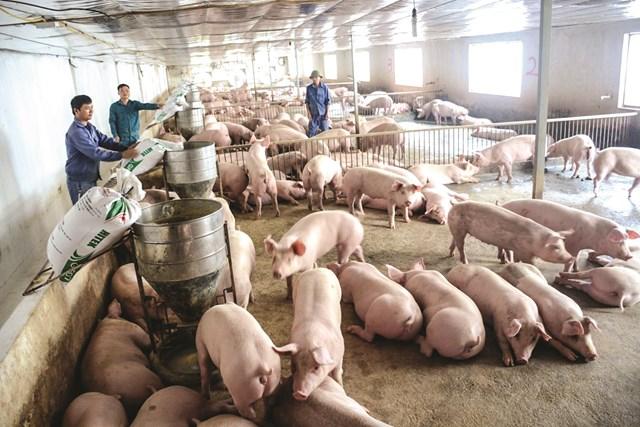 Tái đàn đạt 81% so với trước dịch tả lợn châu Phi.