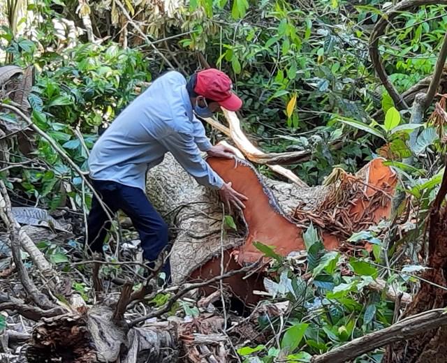 Rừng ở Trà Kót bị tàn phá không thương tiếc.