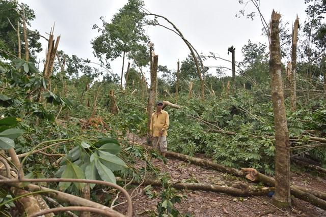 Nhiều diện tích cao su đang trong thời kỳ thu hoạch tại huyện Phong Điền bị bão quật gãy ngang thân.